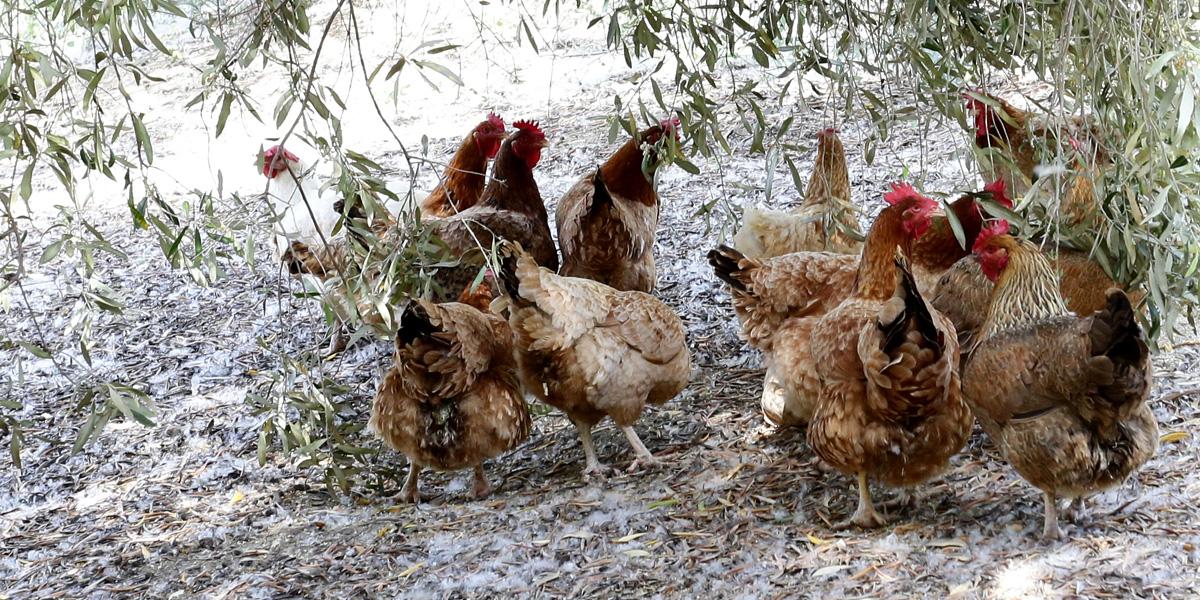 Οι κότες μας χαρίζουν φρέσκα αυγά