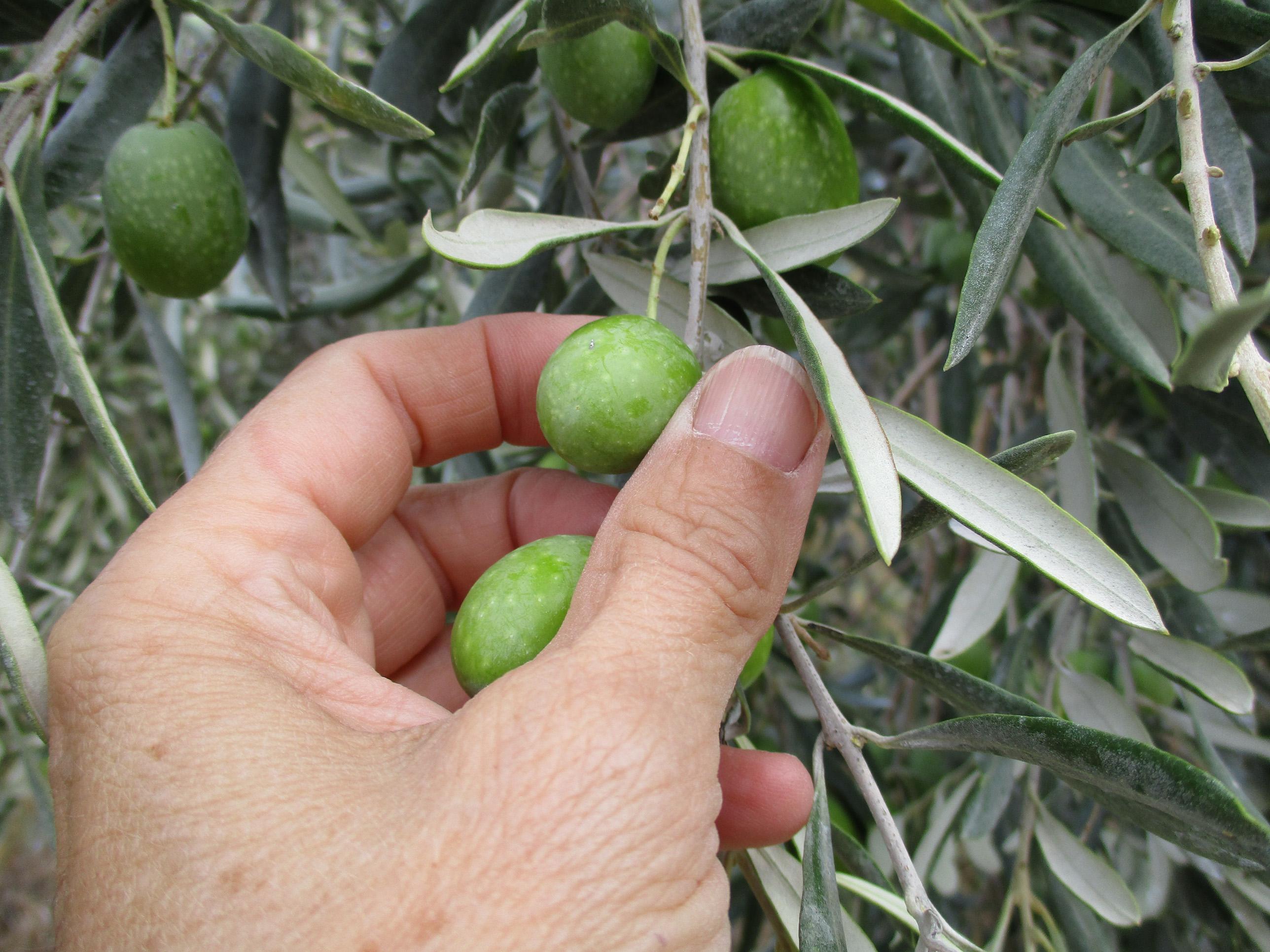 Frisches Bio-Olivenöl